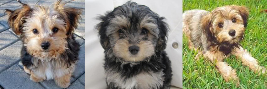 Yorkiepoo Puppy Preschool Training