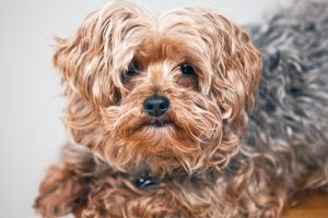 Yorkie-poo dog, otherwise known as a yorkiepoo, yorkipoo, yorkapoo or Yoodle